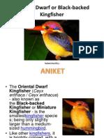 OrientalOriental Dwarf Dwarf or Black-backed Kingfisher