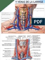 Arterias y Venas de La Laringe