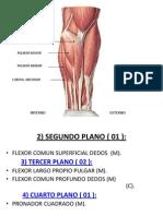 Musculos Del Miembro Superior II