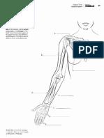 Brazos y Antebrazo anatomia para colorear