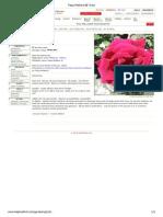 'Papa Meilland ®' Rose
