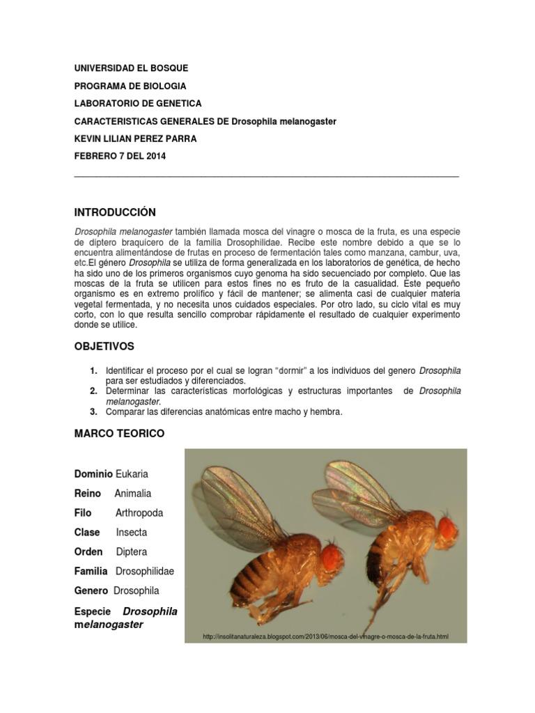 Drosophila Melanogaster 1