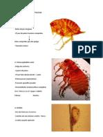PROVA PRÁTICA Parasitologia