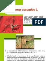 6.Cyperus Rotundus