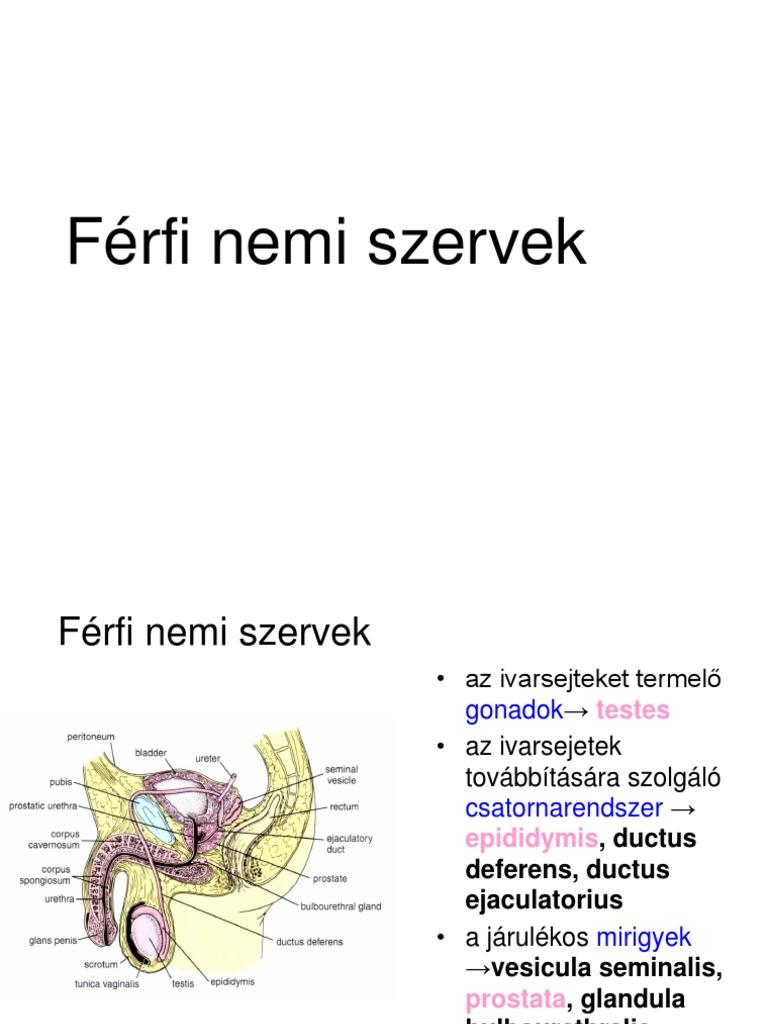 férfi szervek felállítása)
