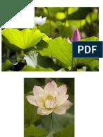 Lotus pics