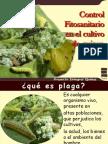 Plagas y Enfermedades en El Cultivo de Quinua