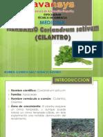 Herbario Cilantro