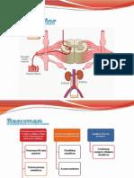 Sistema nervioso somático 2 de 4