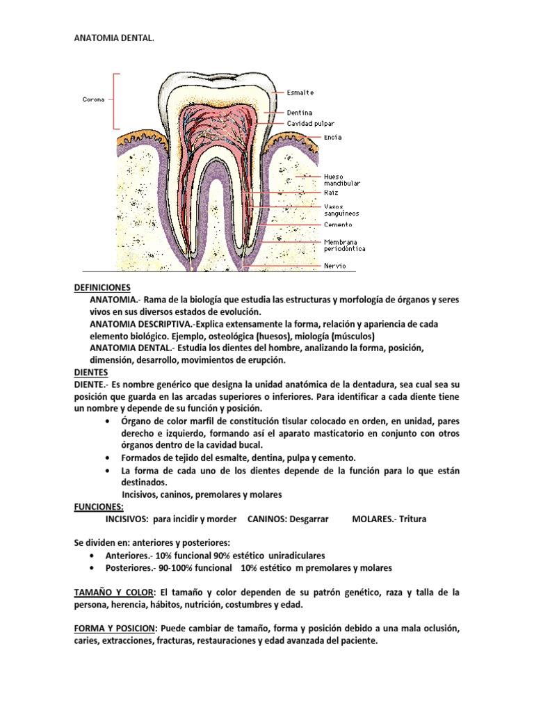 RESUMEN ANATOMIA DENTAL.docx