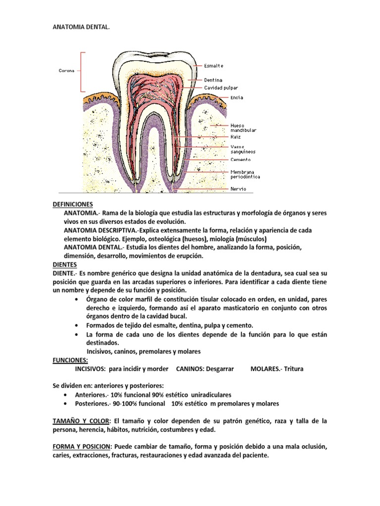 RESUMEN ANATOMIA DENTAL.docx