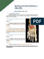 Tema 31. Musculatura Dorsal y Plantar Del Pie.