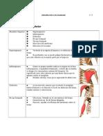 Sistema Muscular-miembro Sup e Inf