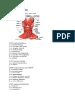 OSTEOMIOLOGI