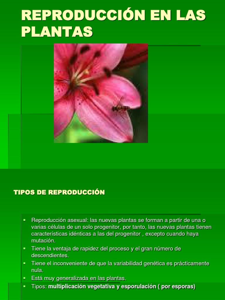 Romero rastrero reproduccion asexual de las plantas