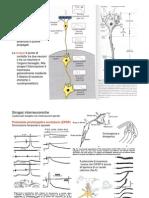 7 - neuroni, integrazione, neuromodulazione