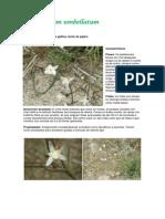 Ornitogalum umbellatum