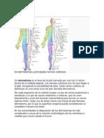 Dermatoma, Miotoma, Metarona- Conexionmes Cutaneas Con Medula Espinal y Organosinculado Con Meridianos