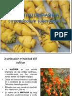 Mashua Trabajo de Tuberosas