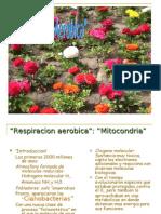 Respiracion aerobica y la Mitocondria