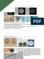 Phytophthora megasperma.docx