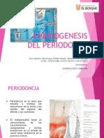 embriogenesis periodonto