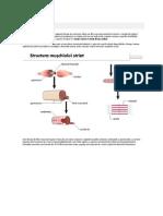 Ţesutul Muscular