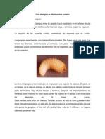Ciclo Biológico de Otiorhynchus Sulcatus