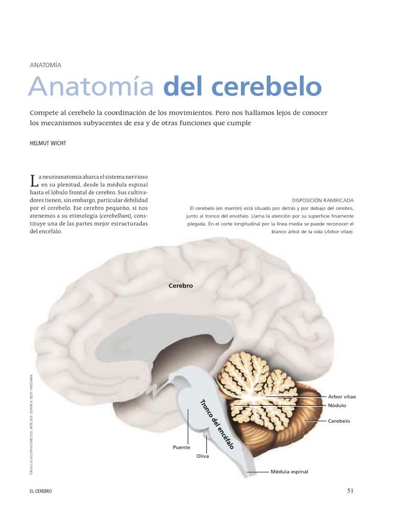 Increíble Anatomía Cerebral Hoja De Trabajo Ornamento - Anatomía de ...