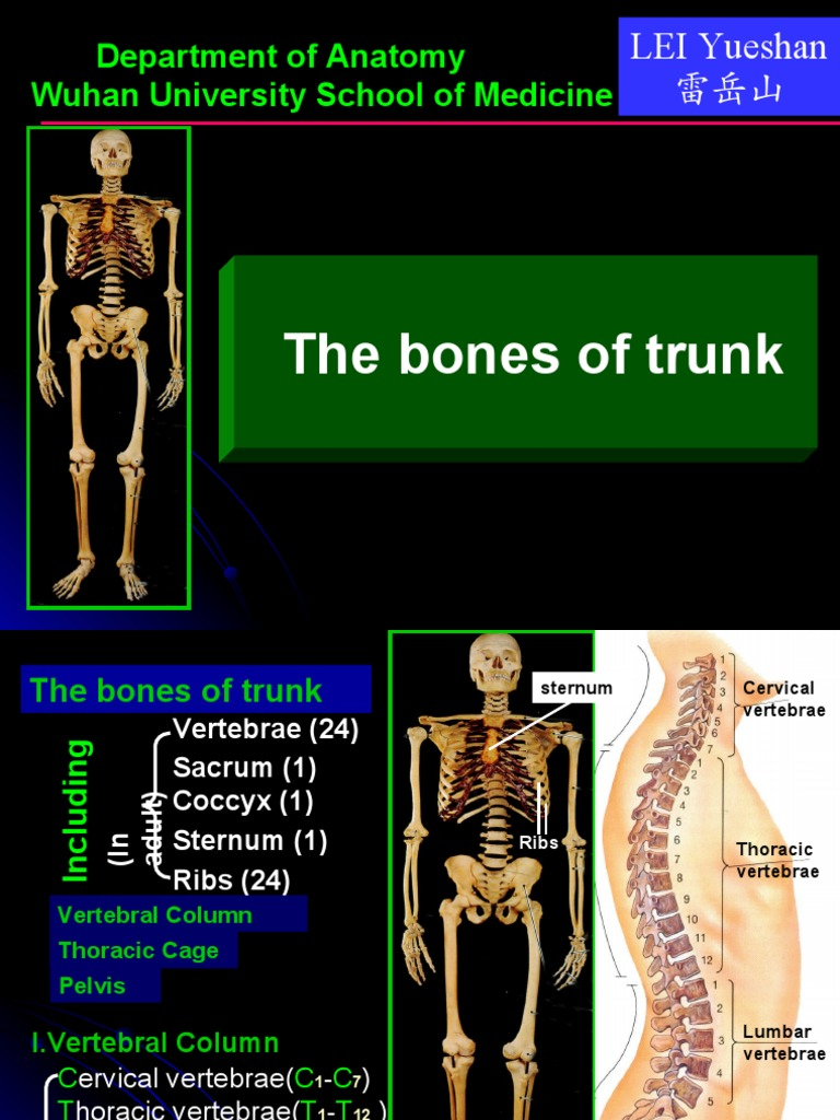 Bones And Joints Of Trunk Vertebra Vertebral Column