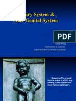 urinary system and male genital organs
