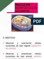 Practica 4-Celulas Eucariotas