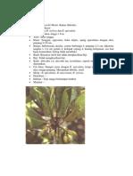 Rhizophora x Lamarckii Montr