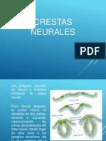 Crestas neurales 2