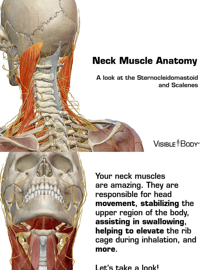 Neck Muscles 030614 Neck Anatomical Terms Of Location