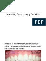 La Encía, Estructura y Función
