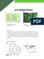Cupressus Sempervirens i