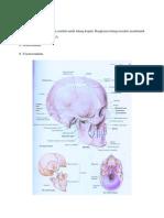 Anatomi Skull