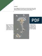 Stentor Protozoan - Arvilia Humsari 230110120097