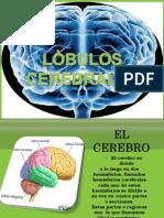 Clase Psicilogía Lobulos