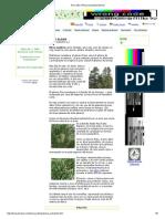 Pino Albar (Pinus Sylvestris) Bonsai