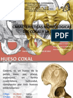 Caracteristicas Morfologicas Del Hueso Coxal