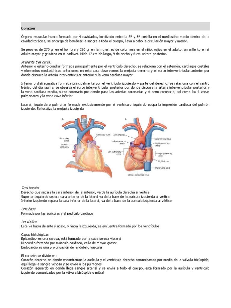 Encantador Anatomía Vena Cardíaca Fotos - Anatomía de Las ...