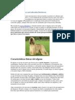 Los Perros Afganos y Mi Labrador Retriever-1