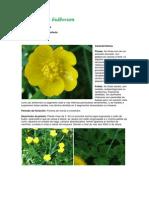 Ranunculus Bulbosum