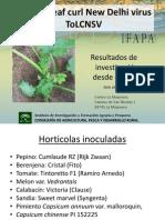 SINTOMAS de Tomato Leaf Curl New Dehli Virus