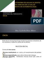Anatomia Del Periodonto Encia