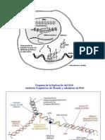 Replicacion.transcripcion, Traduccion y Codigo Genetico