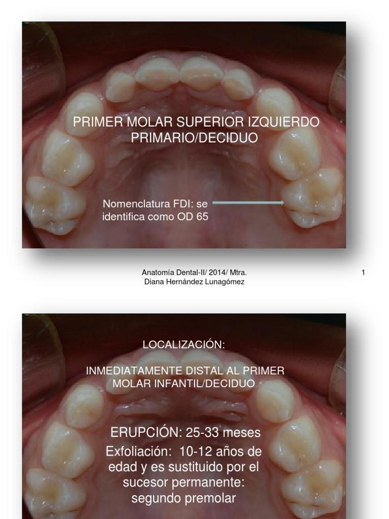 Koalasod.65 Anat Dental II