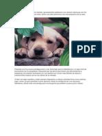 El Labrador Es El Típico Perro Familiar